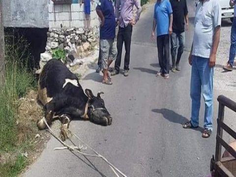 الجدري يواصل الفتك  بأبقار طرطوس ومؤسسات النظام تقف عاجزة عن العلاج