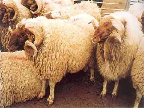 جمعية اللحامين تحذر من انهيار الثروة الحيوانية في سوريا